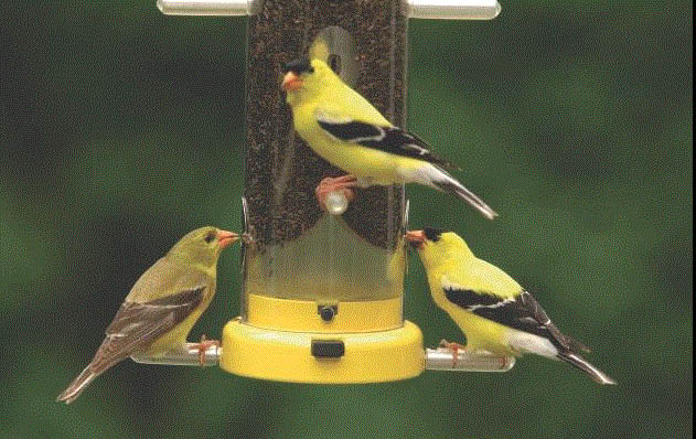 Picture of yellow birds on birdfeeder from Wild Birds Unlimited in Novi, MI